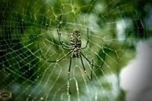 هل تعلم أن العنكبوت لا يقع في شباكه الخاصة .. ...