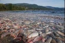 ارتفاع حرارة الانهار في شمال غرب أمريكا تتسبب في نفوق ...