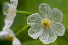 زهرة «الهيكل العظمي» تتحول إلى شفافة تحت مطر