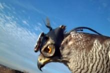 بالفيديو : كاميرا مثبتة على رأس صقر تبين كيف يمكن ...