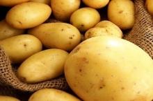علماء يهجنون ثمار بطاطا مقاومة لخنفساء كولورادو