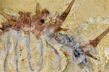 """""""كولينسيوم سيليوسم"""" عاش قبل 500 مليون عام فى العصر الكمبري"""