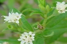 نبات ستيفيا سكر دون سعرات حرارية