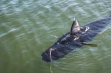 البحرية الأمريكية تجرب روبوتا على شكل سمكة القرش