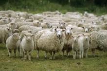 """""""الزراعة"""": 3 آلاف خروف ستصل الضفة خلال أسبوعين وتخفّض أسعار ..."""
