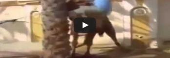 "بالفيديو .. جمل ""هائج"" ينتقم من شاب انتقاما شنيعا"
