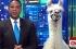 مراسل قناة CNN يجري مقابلة مع حيوان اللاما بالبث الحي