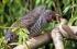 هل سمعت عن الطائر اللئيم من قبل ؟! شاهد الفيديو