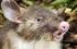 """اكتشاف فصيلة جديدة من الفئران """"بأنف خنزير"""" في إندونيسيا"""