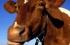 النرويج...اكتشاف أول اصابة بجنون البقر