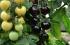 الـ3 حبات بـ4 يورو .... صورة: أول شجرة تنتج طماطم سوداء وبيضاء