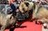 بالفيديو: قرية صينية تحتفل بمصارعة دموية بين الكلاب