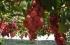 فقط في فلسطين..الكشف عن وجود 21 صنفاً أصيلاً من العنب