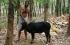 «البقر القزم»: سلاح الهند في مواجهة تغير المناخ !